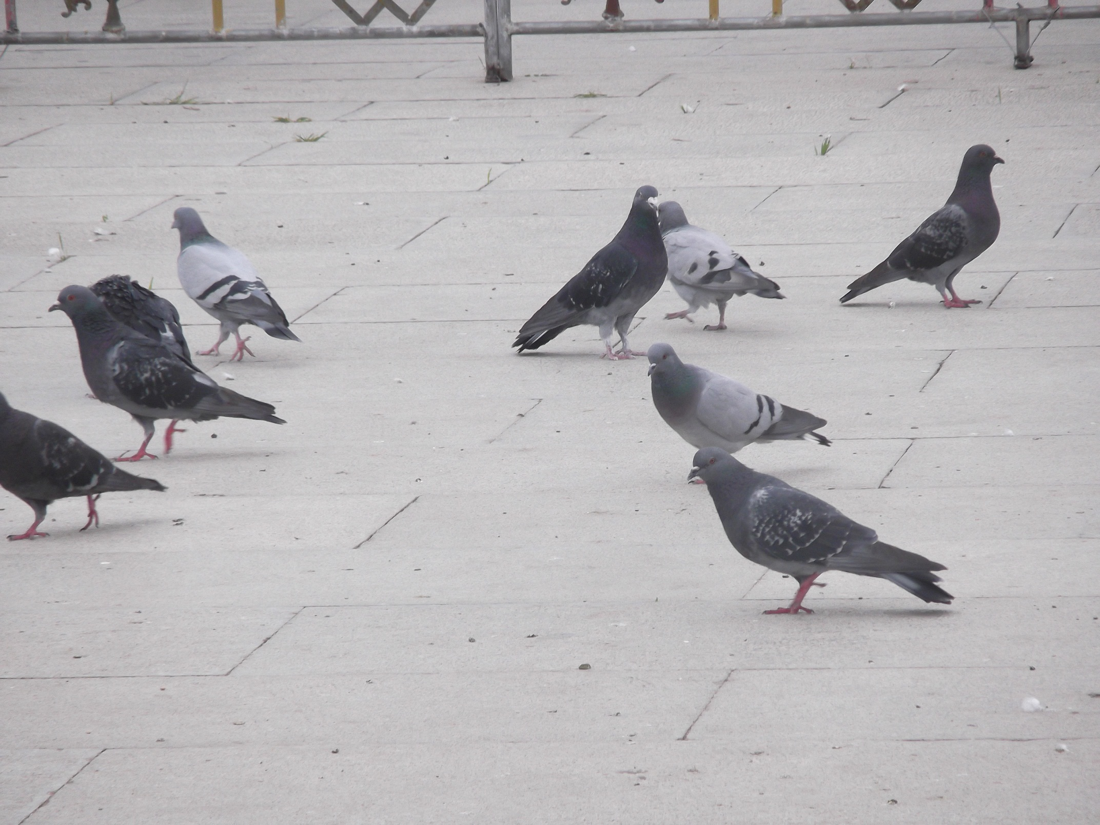 pigeons on Potala square resize